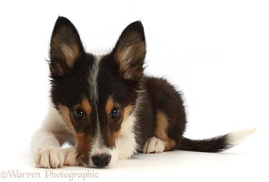 Tricolour Border Collie puppy, resting his nose on the floor