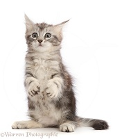Silver tabby kitten, with raised paws and funny face