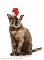 Tortoiseshell Burmese cat, 1 year old, wearing a Santa hat