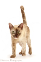 Pale tortoiseshell Burmese cat, 1 year old, walking