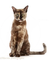Tortoiseshell Burmese cat, 1 year old, sitting