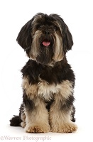 Yorkshire Terrier x Shih-tzu dog, sitting