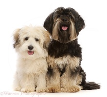 Coton de Tulear puppy  and Yorkshire Terrier x Shih-tzu