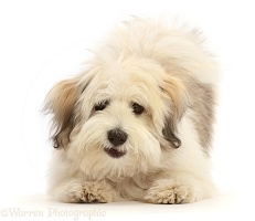 Coton de Tulear puppy, 5 months old, in play-bow