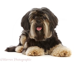 Yorkshire Terrier x Shih-tzu dog
