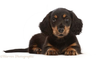 Long-haired Tricolour Dachshund puppy, 7 weeks old