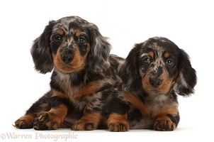 Long-haired Dapple Dachshund puppies, 7 weeks old