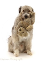 Romanian rescue dog holding a Teddy bear