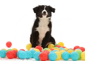 Black-and-white Border Collie puppy, sitting among balls