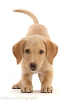 Yellow Labrador puppy, play-bow