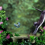 Lilac cat leaping at Blue tit