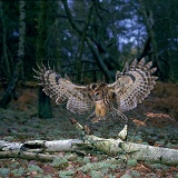 Tawny Owl & Mouse on a Birch log
