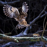 Tawny Owl pouncing a mouse