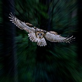 Tawny Owl flying through Woods