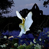 Barn Owl and church by a river