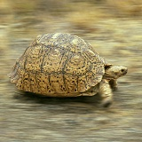 Tortoise in motion
