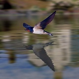 Swallow with reflection