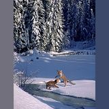 Foxes and snow in Manning Park