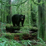 Black Bear in forest