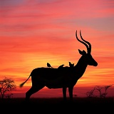 Impala at sunset