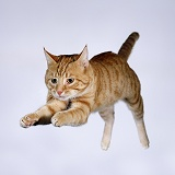 Leaping ginger cat