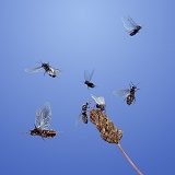 Black Ants flying from plantain