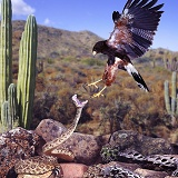Rattlesnake and Harris Hawk doing battle