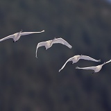 Whistling Swans flying