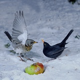 Fieldfare fighting Blackbird