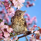 Baby Thrush on cherry blossom