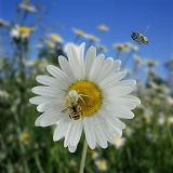 Crab spider on an Ox-eye daisy