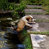 Border Collie puppy climbing out of pond