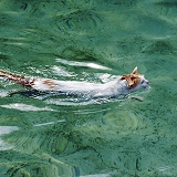 Turkish Van Cat, swimming