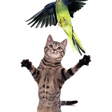 Parakeet escaping Grasping Cat