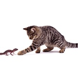 Barking Gecko & Cat