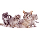 Grey mother cat and kittens