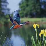 Kingfisher in flight by a pond