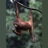 Orang utan, hanging from a branch