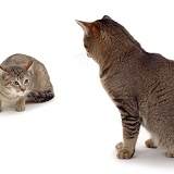 Two cats squaring up