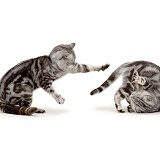 Silver cats scrapping