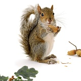 Grey Squirrel with nuts