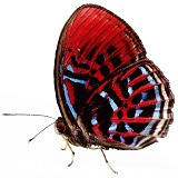 Harlequin Butterfly