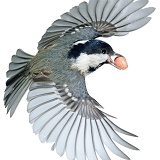Coal Tit flying off with a peanut