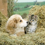 Puppy and kitten playing in hay