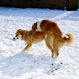 Dogs mating in the snow