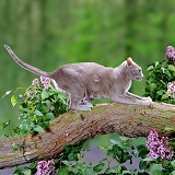 Foreign Lilac cat on a branch