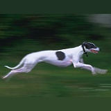 Greyhound running