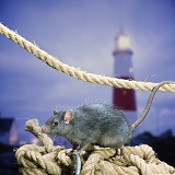 Black Rat with rope and lighthouse