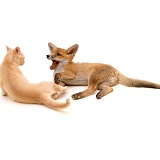 Fox and Kitten playing - (16 May)