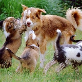 Border Collie dog with his puppies
